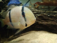 FISH! Young Angelfish; Guianacara cichlid babies; Assassin Snails (individual prices listed!)