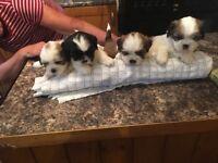 Shitzu cross bichon pups for sale