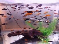 Mollys, Swordtails and platys for sale