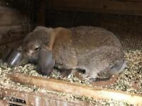 French lop buck