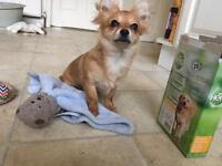 3/4 Chihuahua Puppy