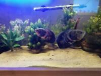 2 x OSCAR FISH