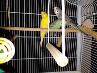 3 budgies and cage and stand for sale