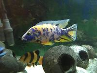 Malawi Cichlid - Juvenile Marbled Peacock Fish