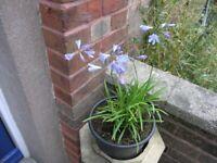 6 Garden Plants Incl Agapanthus, Fig Tree, Fuscia, Hebe. Butterfly Bush Weymouth £20 Lot