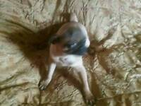 Pug 7/8bitch puppy