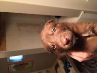 Brown Siberian husky x pup for sale
