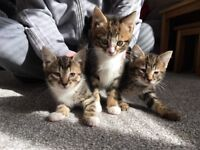 3 tabby kittens for sale