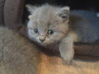 British short kittens for sale