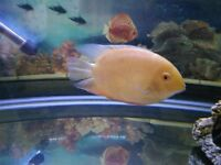 1 PAIR OF YELLOW SEVERUMS & 1 RED NECK SEVERUM QUICK SALE ONLY £20