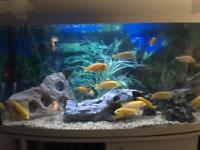 Malawi Yellow lap and red Zebra fish