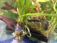Long finned common bristlenose ancistris