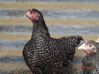 PLYMOUTH BARRED ROCK CHICKENS 14 WEEKS OLD £10 EACH