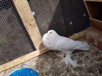 lost, missing pigeon
