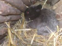 NETHERLAND DWAF BABY RABBITS PURE BREED £35 EACH