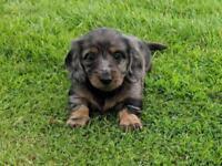 Dapple Long Haired Minature Dachshund Puppy
