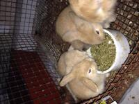 lop ear sweet baby bunnies for sale