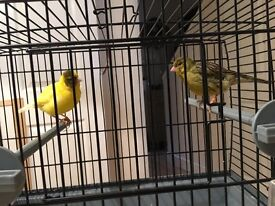 Canary Pair For Sale