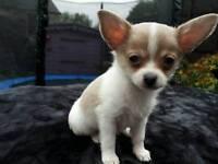 Stunning Chihuahua/Papillon pups
