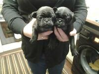 3 quarter pug puppy's only 2 girls left