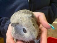 Baby Boy Guinea Pig