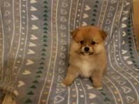 First Class Pomeranian puppies!