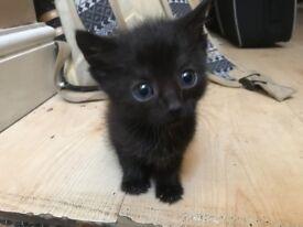 Fluffy black kittens
