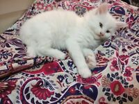 rag doll Persian mix kittens for sale