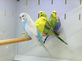 Beautiful Budgies for sale.