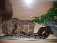 Royal ball python and set up