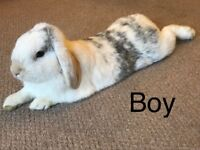 URGENT 3 Minilops and 1 Meadow Rabbit
