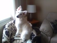 German shepherd white puppy for sale 6 months old