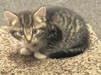 Tabby kittens Male & female 8 weeks old. Very cute trained and eating well.
