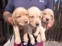 Labrador Puppies for sale £650