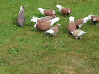 Pigeons Red Badge Tumblers