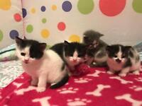 Kittens for sale- All reserved.