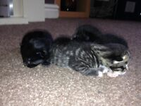 Kittens free to good home ready in 6 weeks