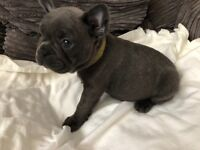 French bulldog puppies for deposit