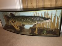 Large taxidermy fish in case
