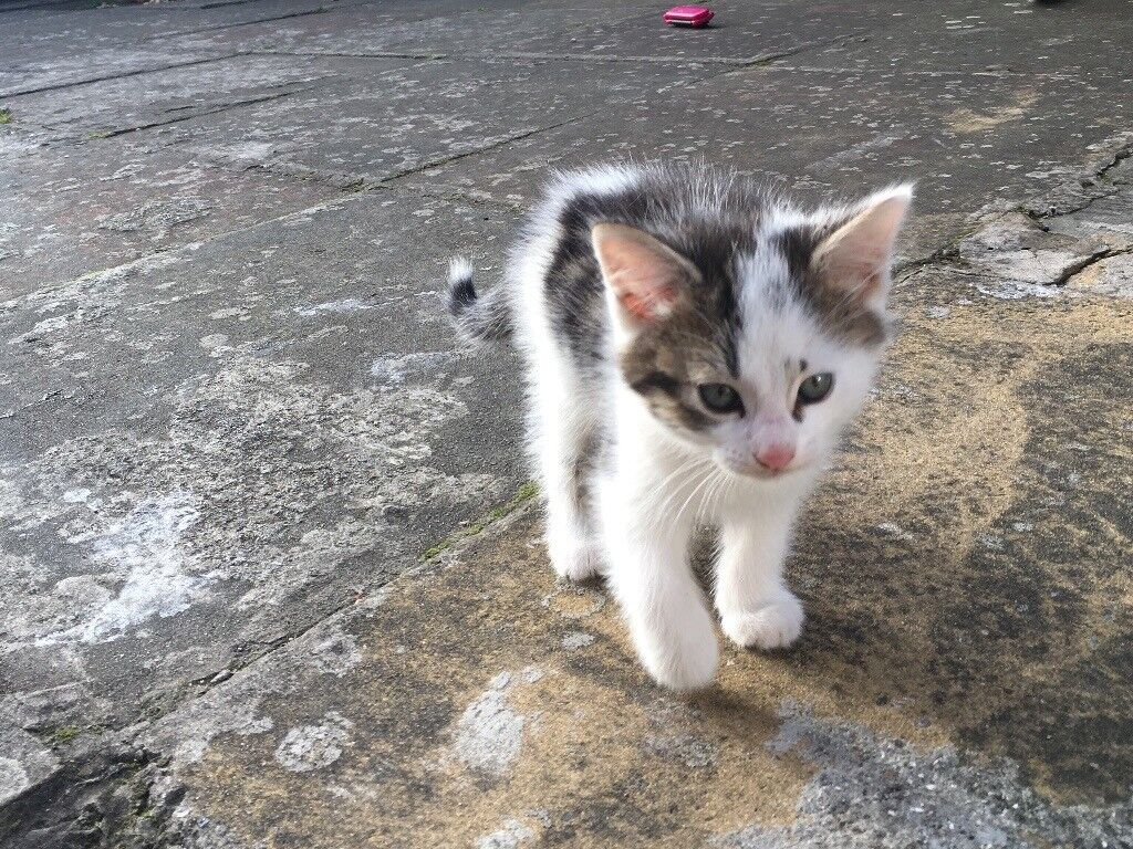 Gorgeous black and white kitten for sale.