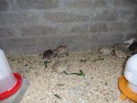 quail for sale