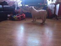 Nice English Bulldog Puppy Girl!!