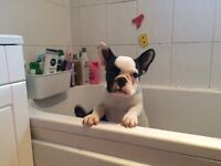 Full breed white and fawn french bulldog