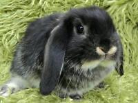Gorgeous minilop rabbits