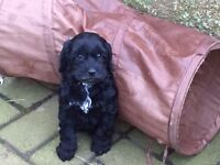 Unbelievably cute Cockapoo puppies, chocolate / black / girls / boys available
