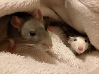 Two Female Rats Free to a Good Home!