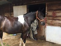 Experienced full loan home for potential show/PC pony