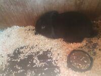 Male rabbit