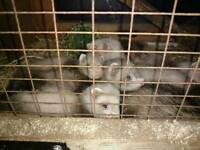 Baby ferrets (kits)for sale