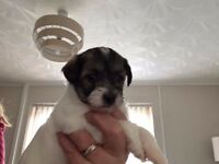 YorkiePoo Puppies For Sale